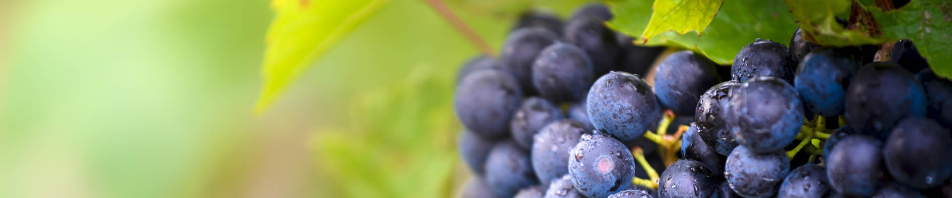 Red Gamay grapes
