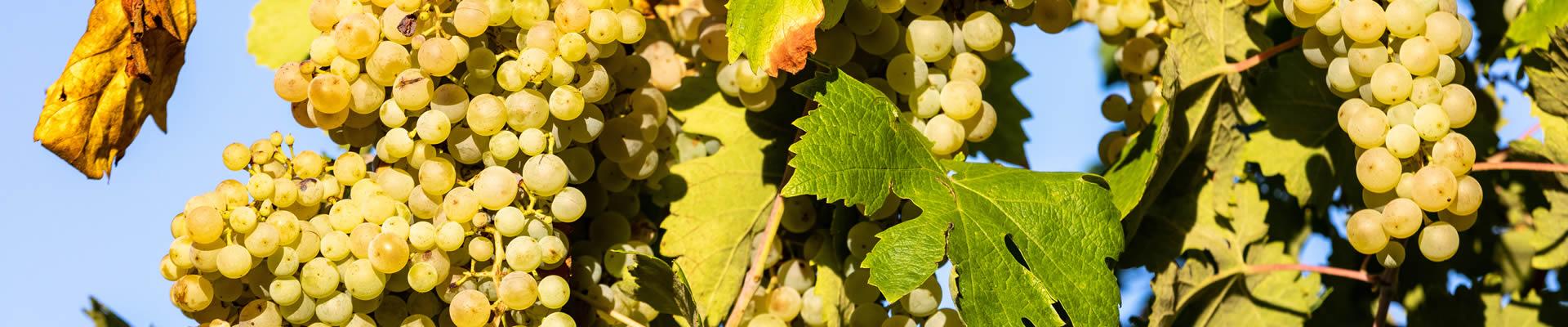Glera grapes grown for Prosecco wine