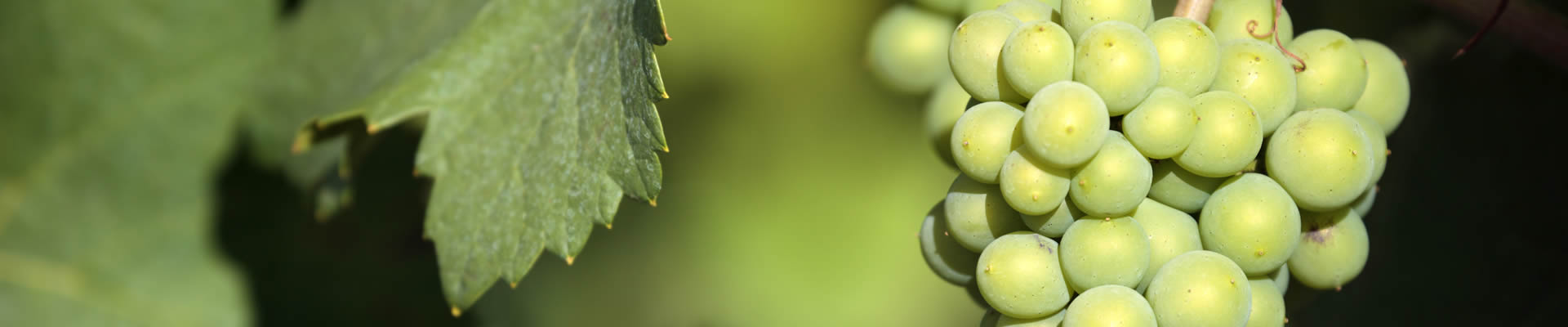Savignon Blanc grapes