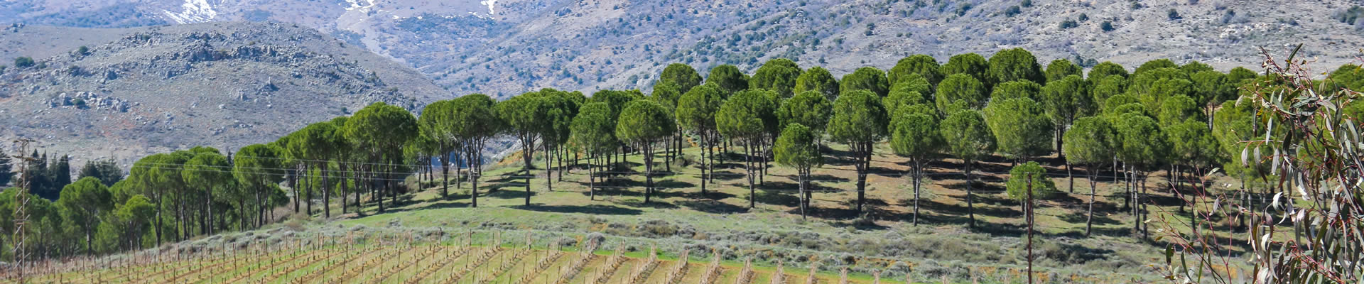 Lebanese vineyards